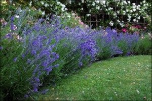landscaping with lavender