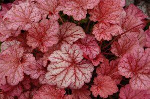 heuchera shade garden plant
