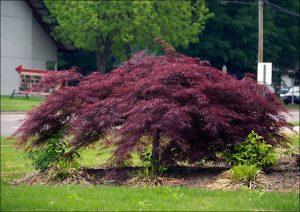 new york botanical garden japanese maple