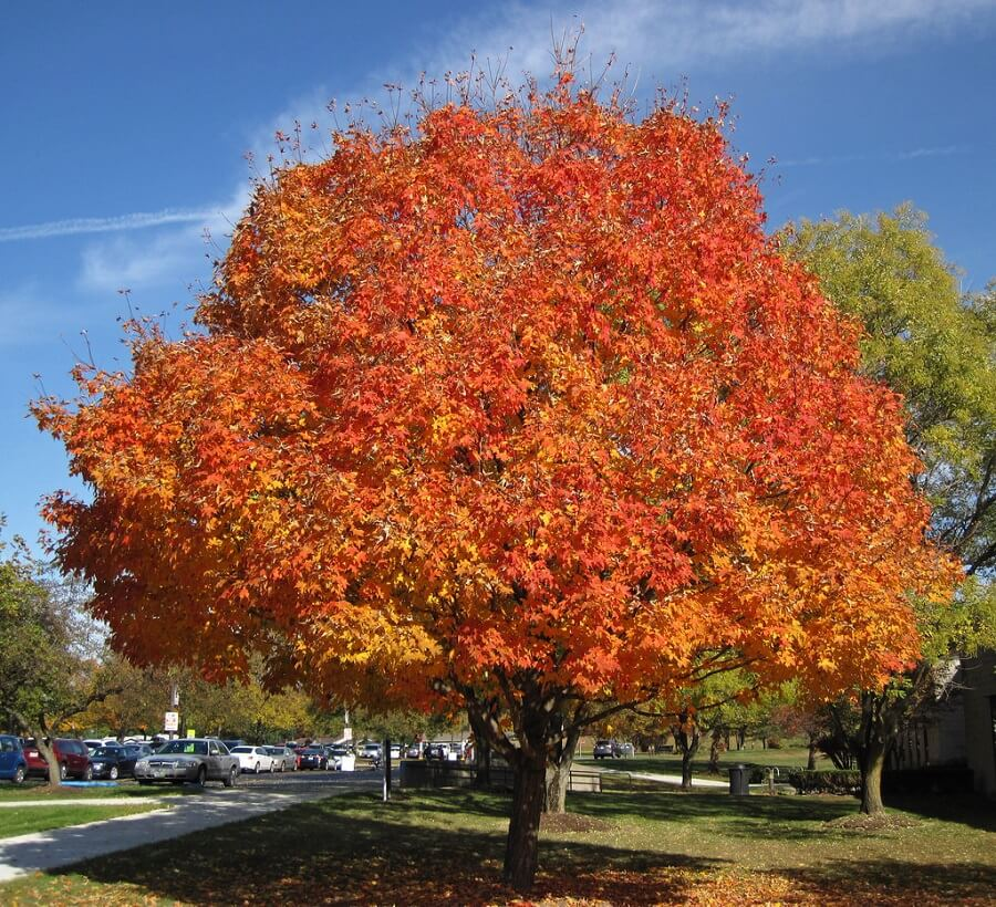 landscaping trees maple