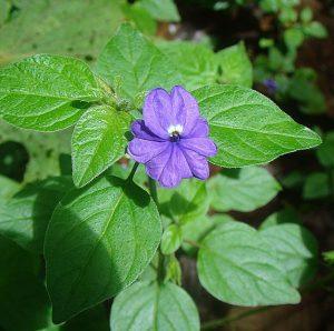 amethyst shade garden flower