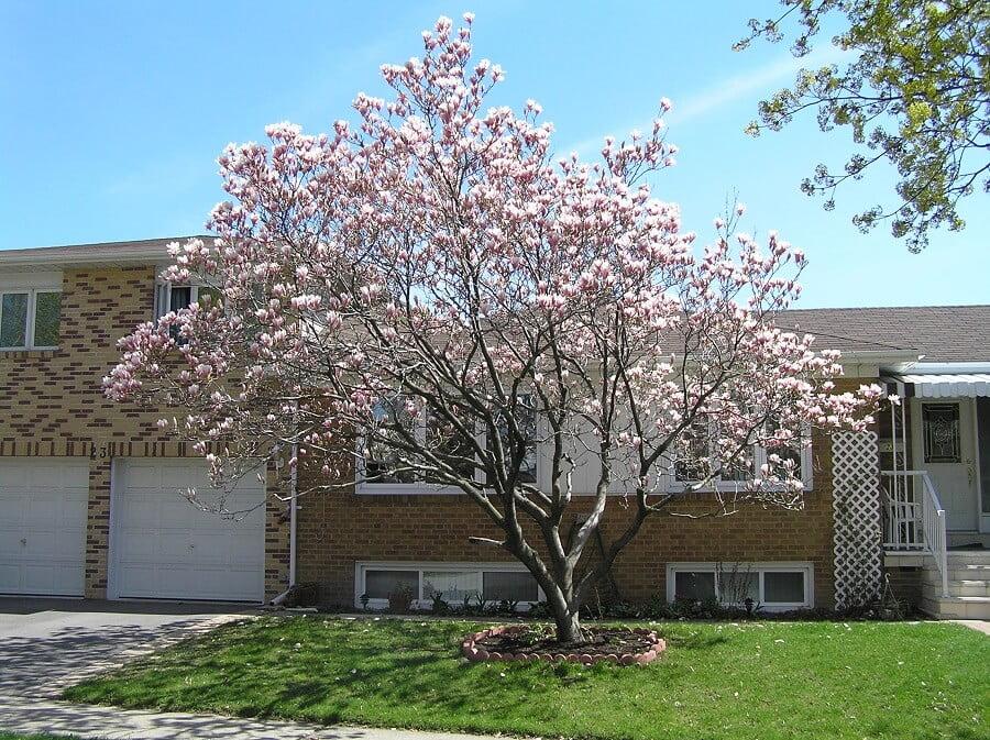 landscaping trees magnolia