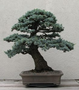 new york botanical garden blue cedar