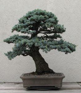 new york botanical garden blue cedar