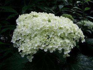 hydrangea shade garden flower