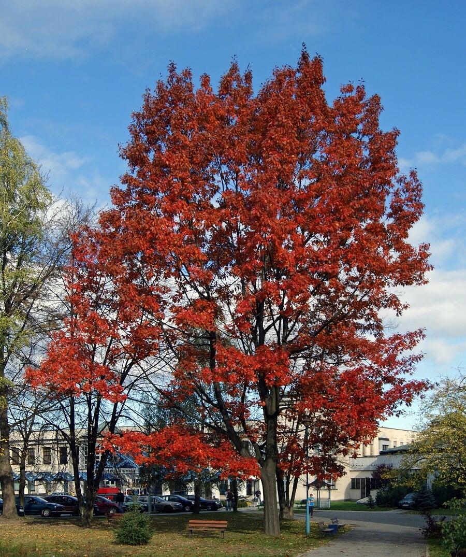 landscaping trees oak