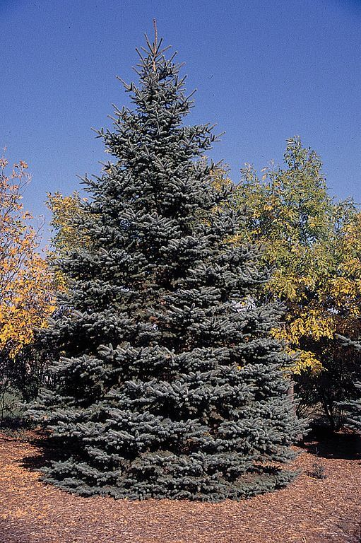landscaping trees spruce