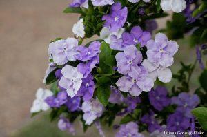 yesterday today tomorrow shade garden plant