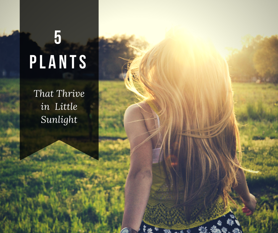 plants that thrive in little sunlight
