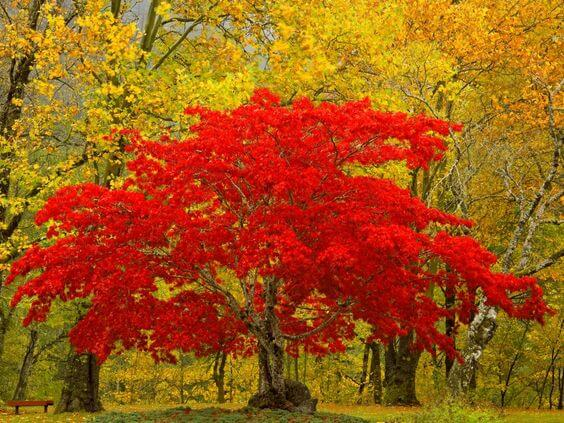 How to plant a tree red maple