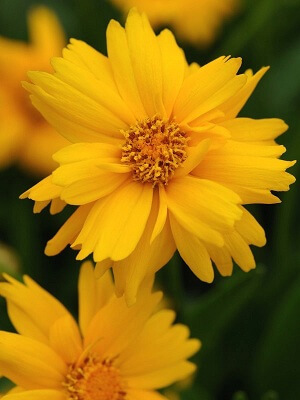 coreopsis flowering plants