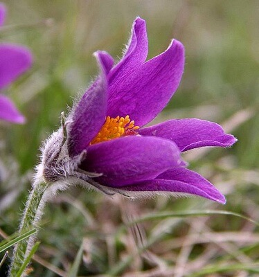 pasque flower flowering plants