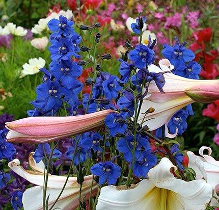 red-butte-garden-delphinium-belladonna-bellamosum