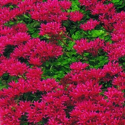 sedum flowering plants