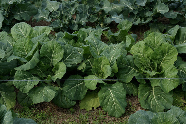 vegetables-to-grow-in-the-fall-collards