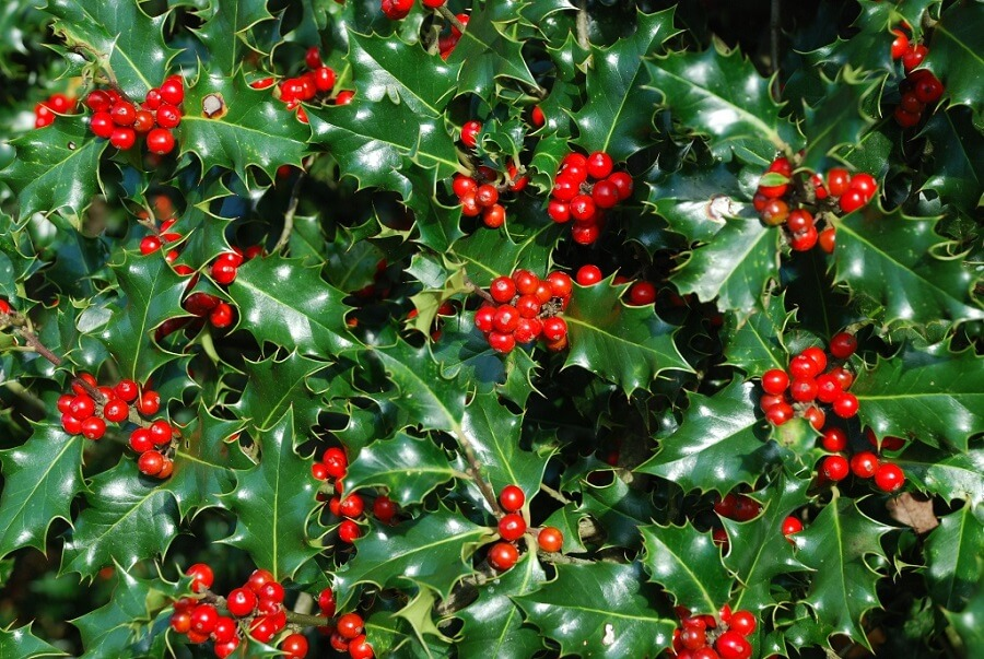 close up of a holly shrub full of red berries