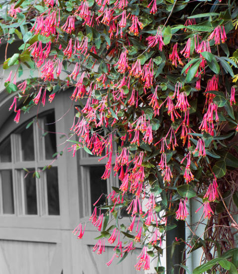 pink honeysuckle climbing on a door frame