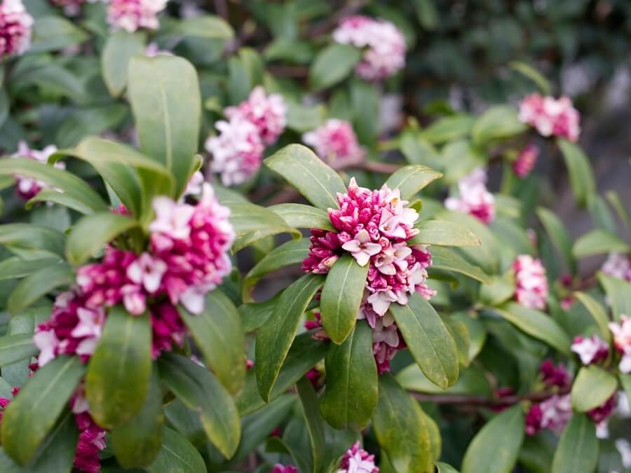 Close up of a daphne shrub filled with purple flowers
