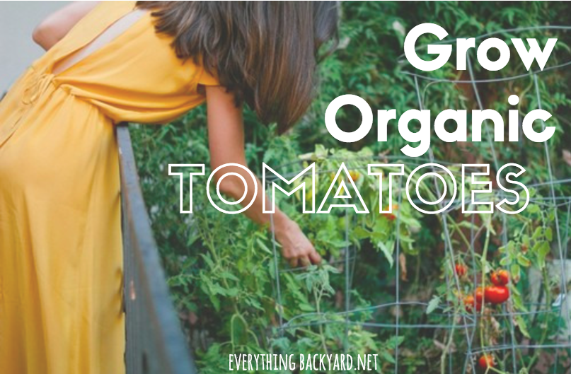 how to grow organic tomatoes