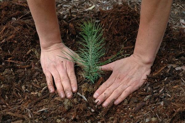pine sprout, urban tree farm