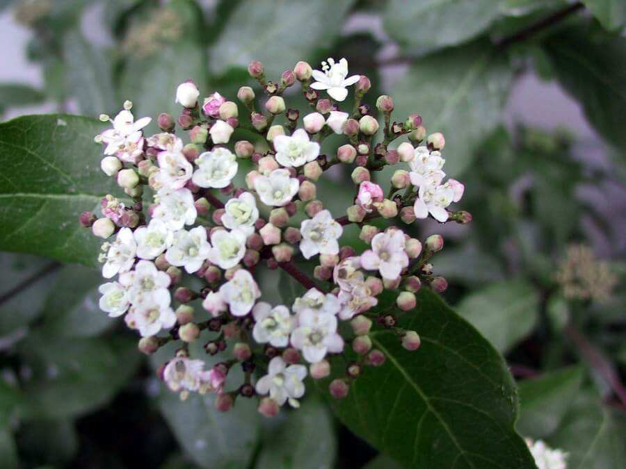 blooming viburnum flower