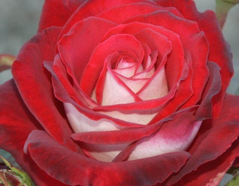 close up image of the osiria rose variety