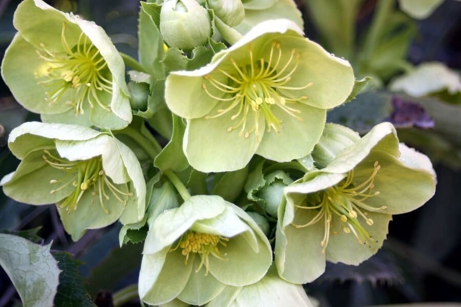 lime green hellebores flowers