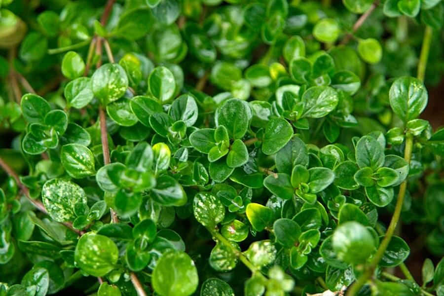 thyme ground cover plants
