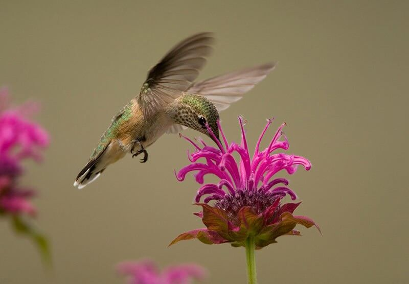 hummingbird feeding from a bee balm flower