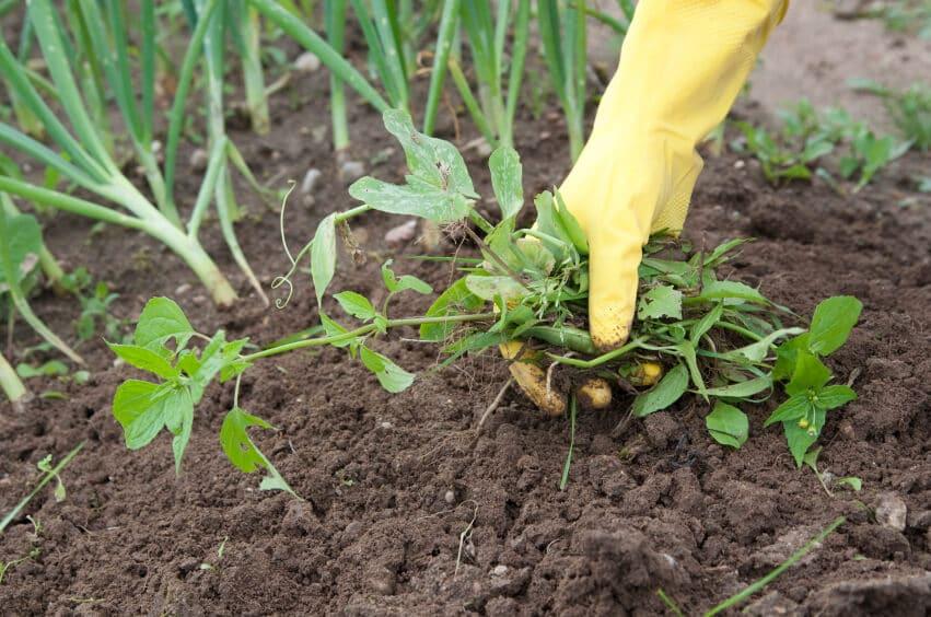 person eliminating garden weeds