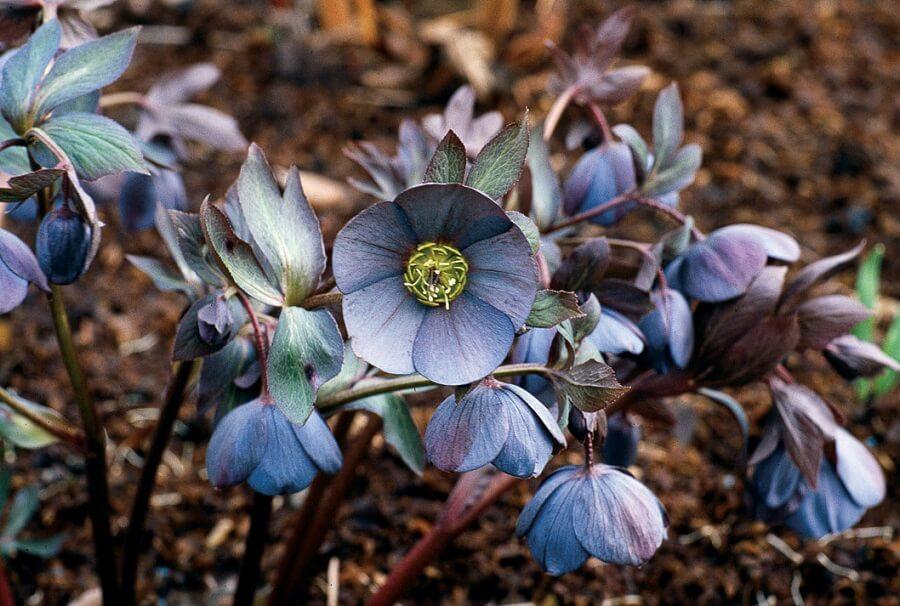 purple hybrid hellebores