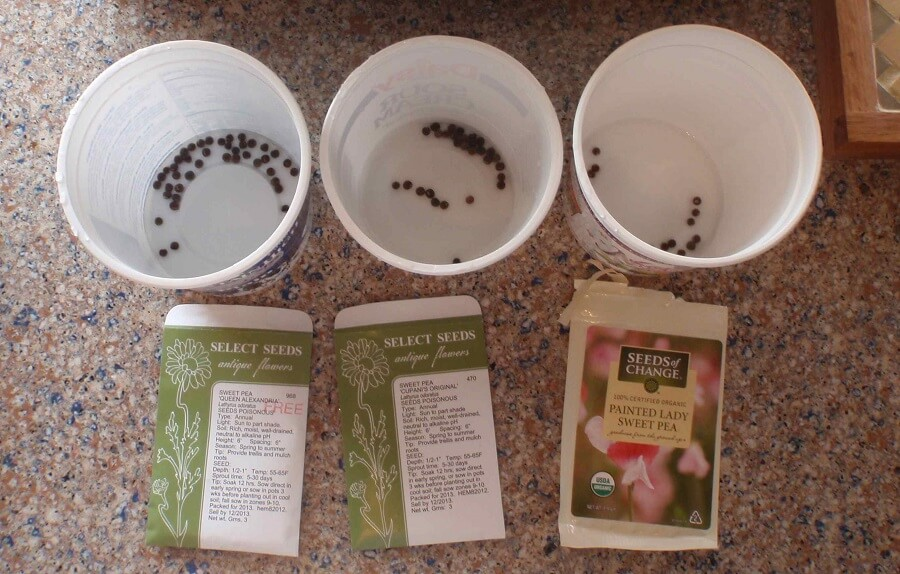 sweet peas seeds soaking in three water containers