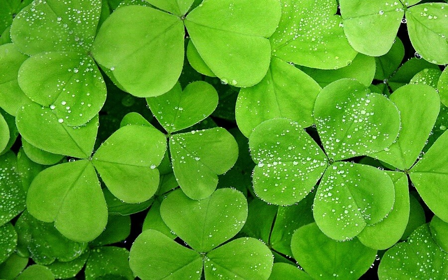 above view of a clover field covered in water drops