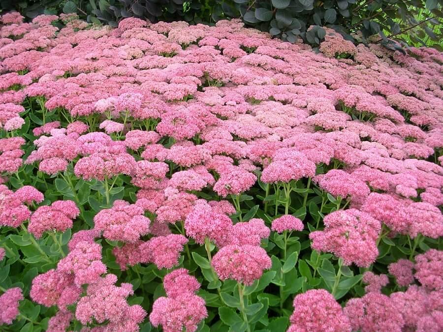 sedum ground cover plants