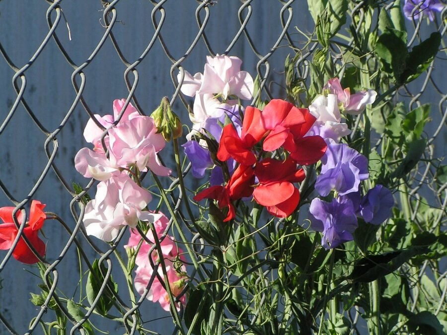 multicolored sweet peas flowers climbing a fence