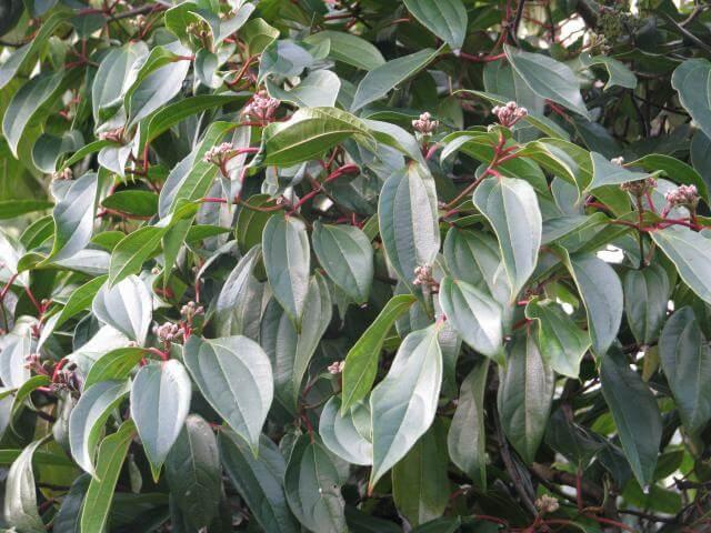 cinnamomum variety of viburnum
