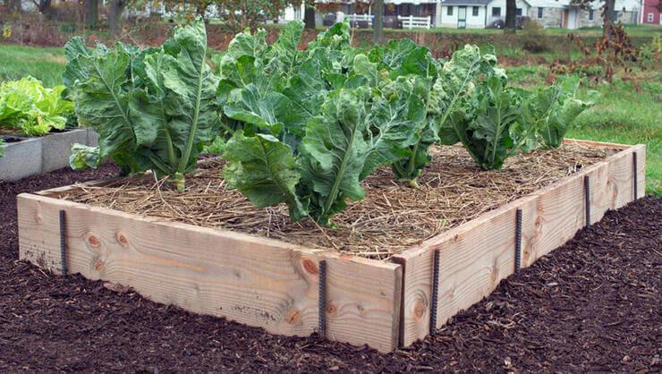 lettuce growing in raised garden bed