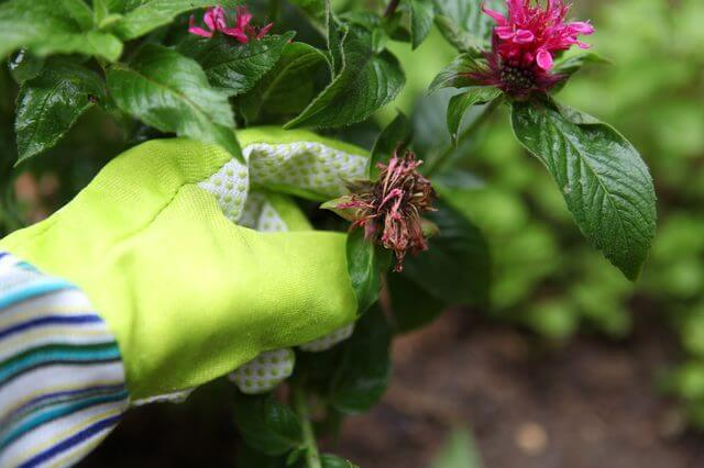 someone wearing gloves and holding a dry bee balm flower