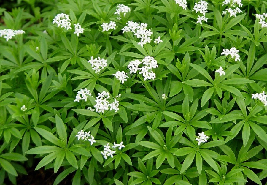 sweet woodruff ground cover plants