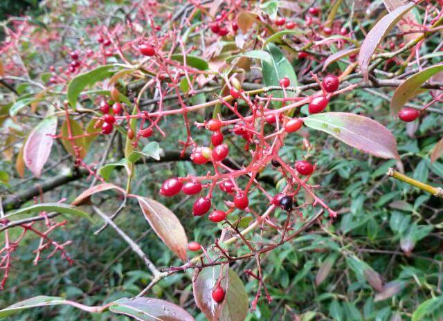 berries of the Henry's viburnum