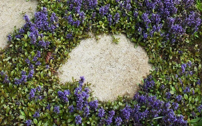 ajuga ground cover plants