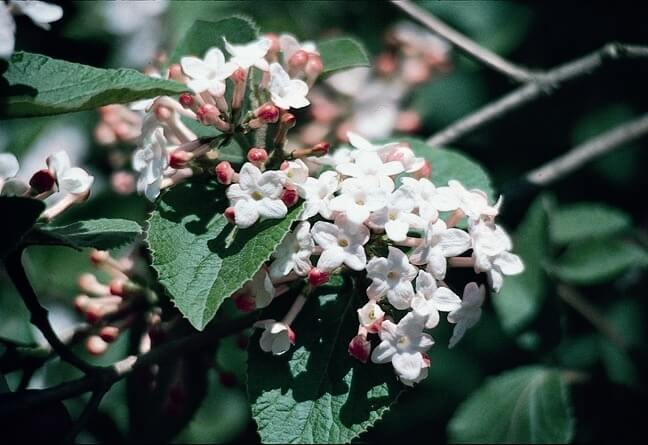 koreanspice variety of viburnum
