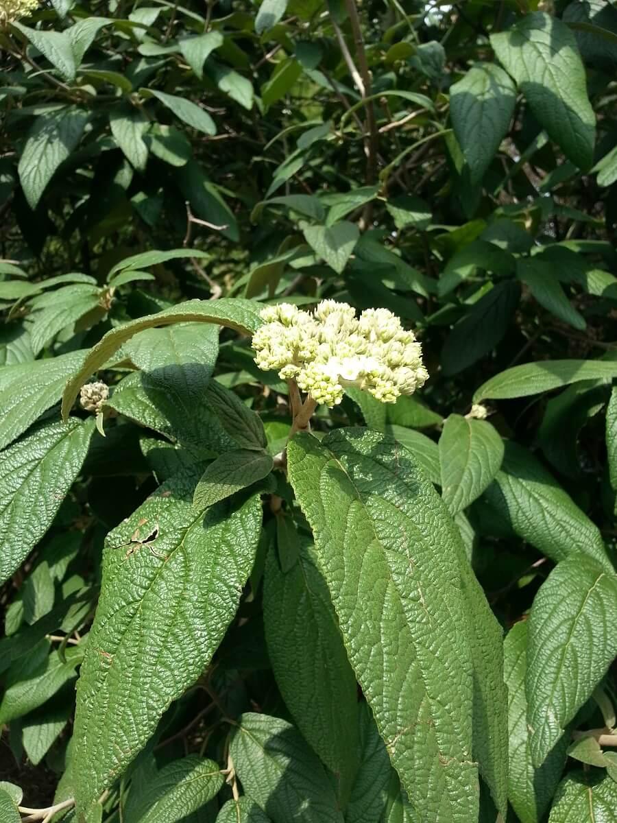 leatherleaf viburnum variety