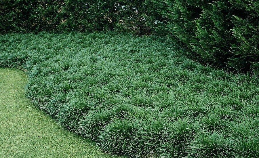 mondo grass ground cover plants