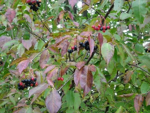 Nannyberry viburnum variety