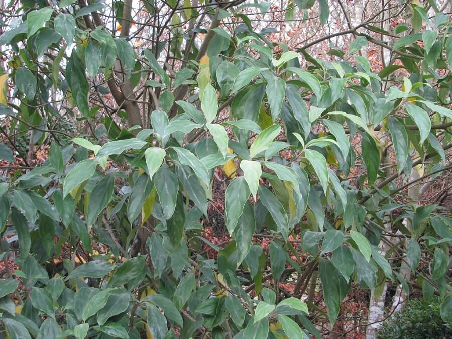 tubeflower viburnum variety