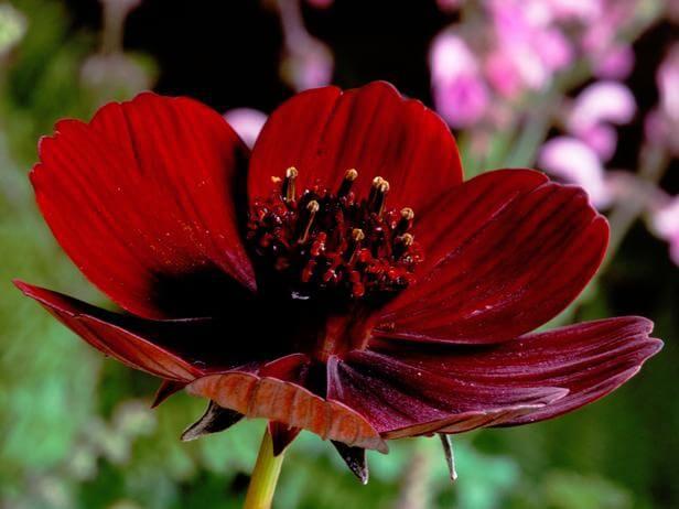 dark red chocolate cosmos flower