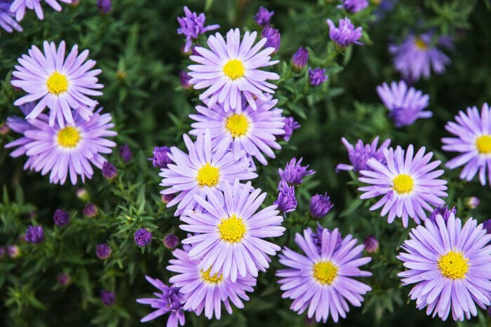 Aster flower tips care and everything else you need purple aster flowers mightylinksfo