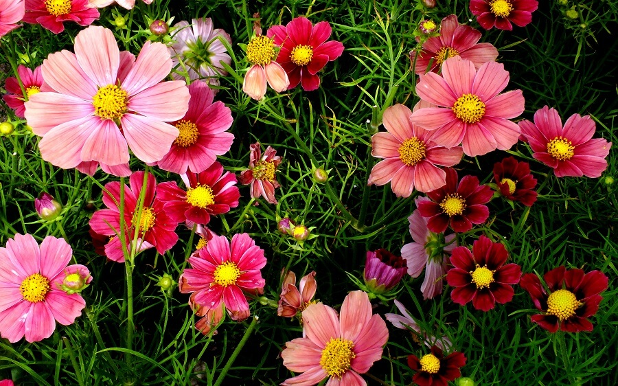 cosmos flowers in different shades of pink