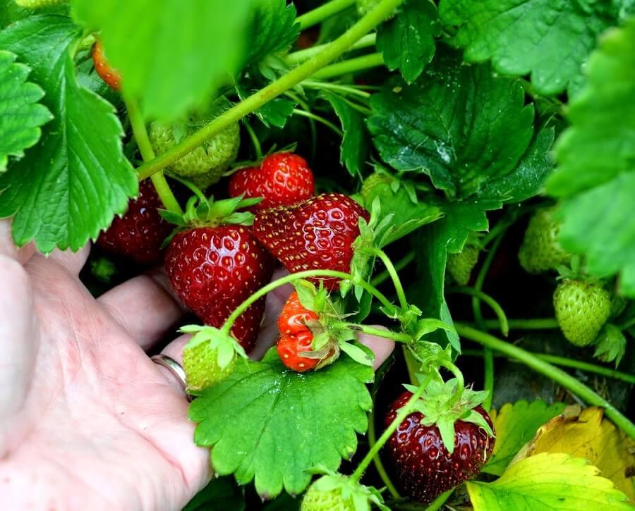 june bearing type of strawberries